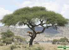 Ngorongoro lion tree