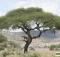 Ngorongoro lion tree