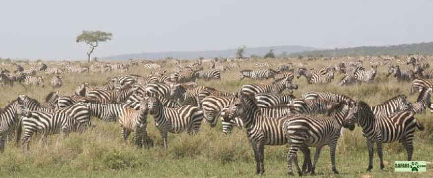 A herd of stripes!