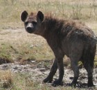 Spotted Hyena (covered in mud)